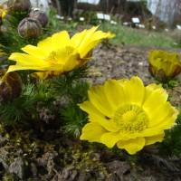 Adonis de printemps (Adonis vernalis L.)