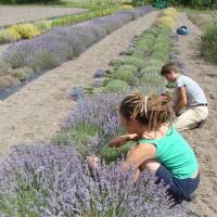 Récolte dans l'essai lavande pour l'évaluation des rendements en fleurs