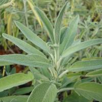 Sauge officinale (Salvia officinalis L.)