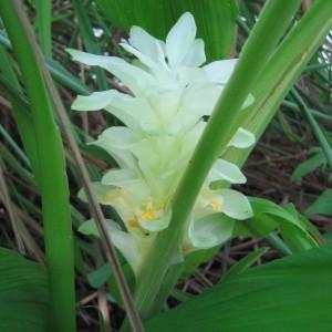 Curcuma (Curcuma longa L.)