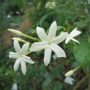 Jasmin d'Arabie (Jasminum sambac (L.) Aiton.)