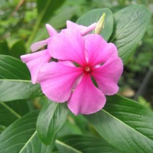 Pervenche de Madagascar (Catharanthus roseus (L.) G. Don.)