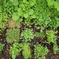 Plants issus de semis prêts pour le repiquage