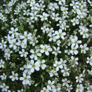 Sabline à grandes fleurs (Arenaria grandiflora L.)