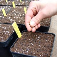 Semis en pot de 1 litre