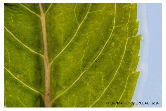Clé d'identification de 52 clones de menthe poivrée – M. x piperita