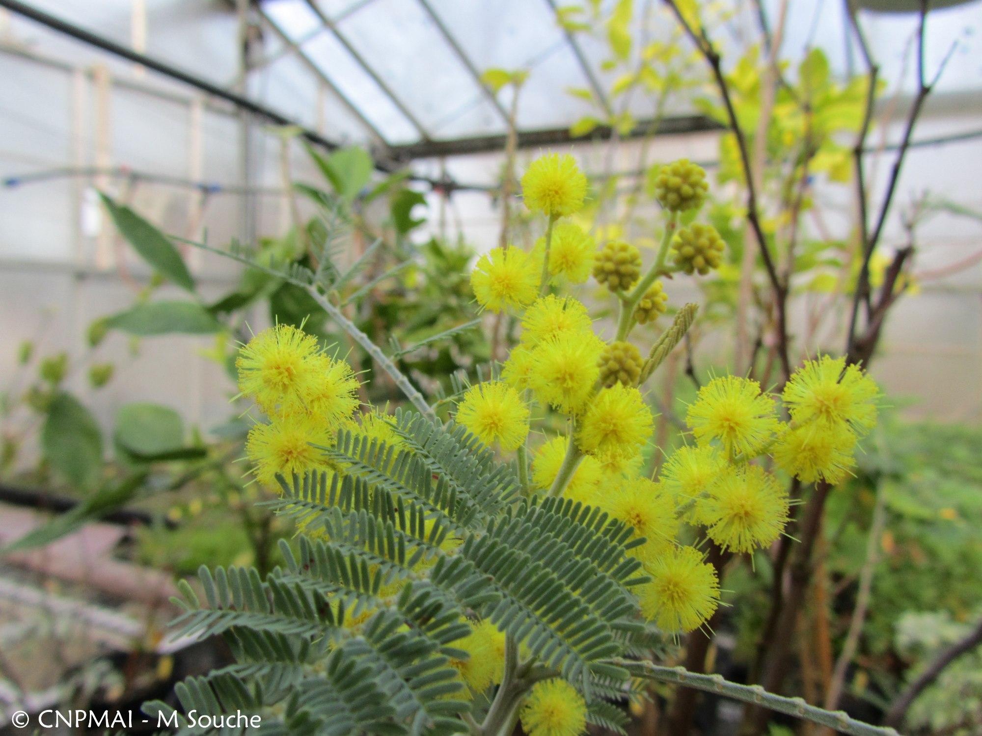 Floraison du mois le mimosa d hiver conservatoire for Floraison hiver