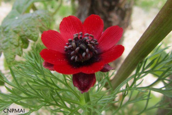Floraison du mois de juin : L'Adonis annuelle