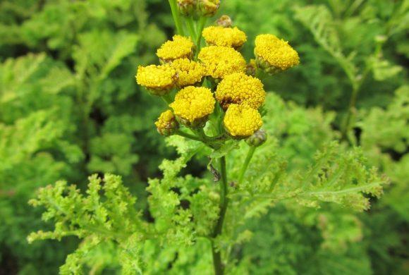 La floraison du mois : la Tanaisie à feuilles crispées
