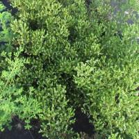 Origan grec (Origanum vulgare L. ssp. hirtum letsw.)