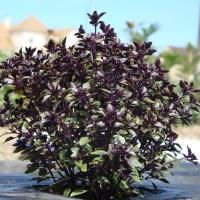 Basilic (Ocimum spp.)