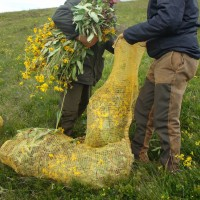 Récolte des parties aériennes d'arnica (Arnica montana L.)