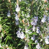 Romarin (Rosmarinus officinalis L.)