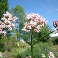 Valeriane (Valeriana officinalis L.)