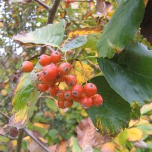Alisier de Fontainebleau (Sorbus latifolia (Lam.) Pers.)