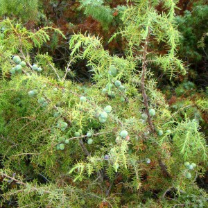 Cade (Juniperus oxycedrus L.)