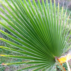 Canon palm (Washingtonia filifera Wendl.)