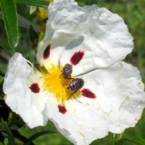 Ciste ladanifère (Cistus ladanifer L.)