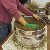 Prétriage de graines de basilic