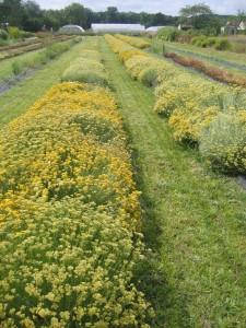 Comparaison d'écotypes et de populations au CNPMAI