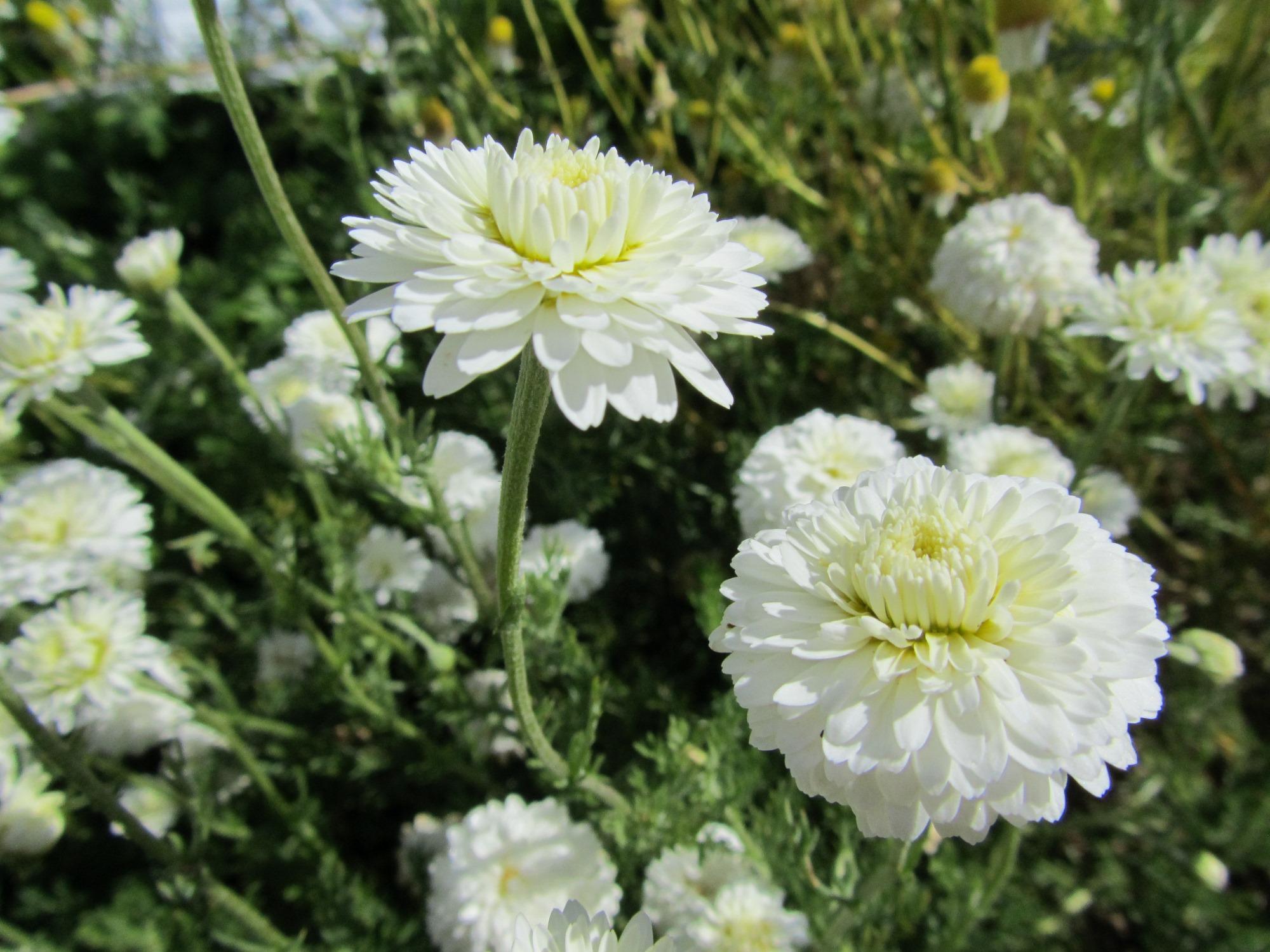 mutants  hybrides  clones  st u00e9rilit u00e9 chez les aromates