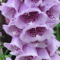 'Giant Shirley' (Digitalis purpurea cv. 'Giant Shirley')
