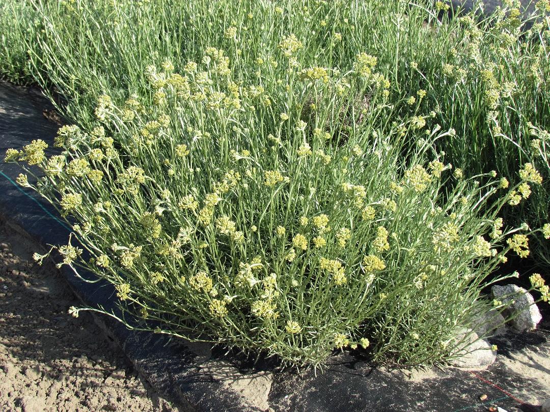Helichrysum italicum ital, redim