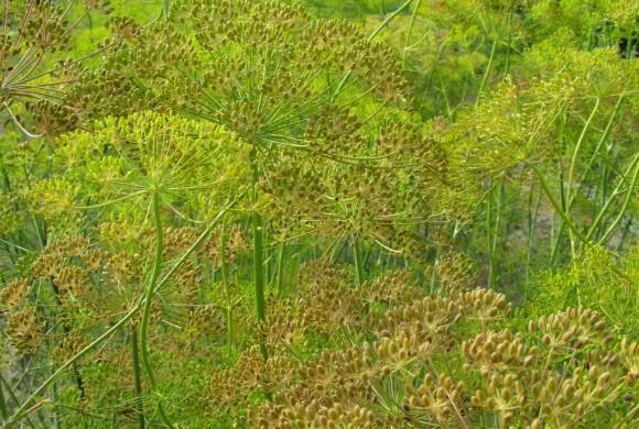 Récolte des semences