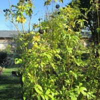 Ginseng sibérien (Acanthopanax senticosus, syn. Eleutherococcus senticosus)