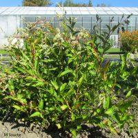 Renouée des teinturiers (Persicaria tinctoria, syn. Polygonum tinctorium)