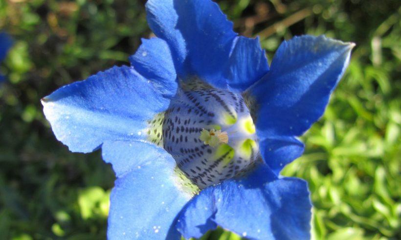 Floraison du mois : La Gentiane acaule