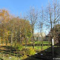Haie d'Alisier de Fontainebleau (Sorbus latifolia)