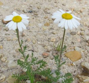 Anthemis nobilis - Camomille romaine