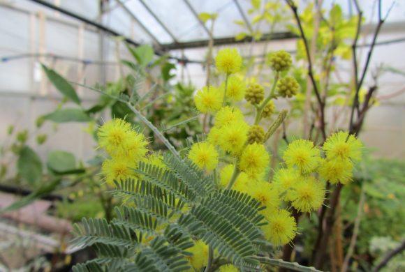 Floraison du mois : Le Mimosa d'hiver