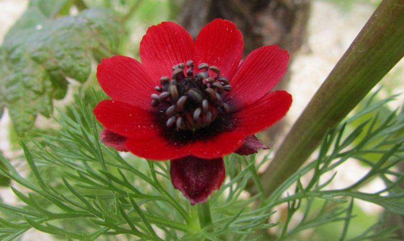 (Français) Floraison du mois de juin : L'Adonis annuelle