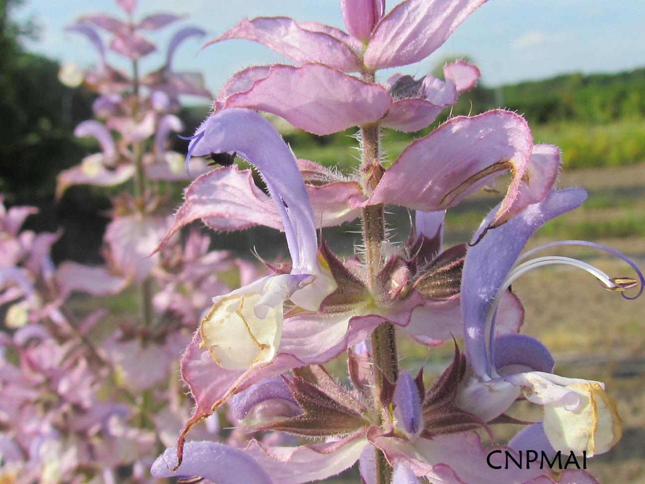 Salvia sclarea, P168, CNPMAI, 13 6 15 ; B PASQUIER (31) 30p