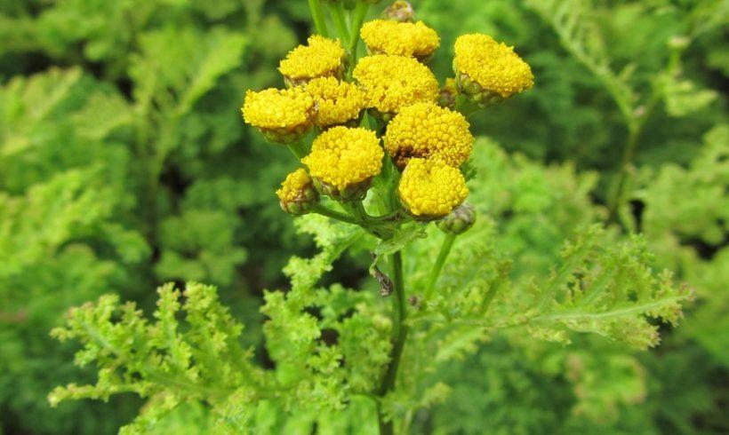 (Français) La floraison du mois : la Tanaisie à feuilles crispées