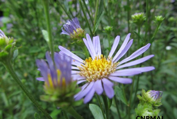 Floraison du mois : la Marguerite de la Saint-Michel
