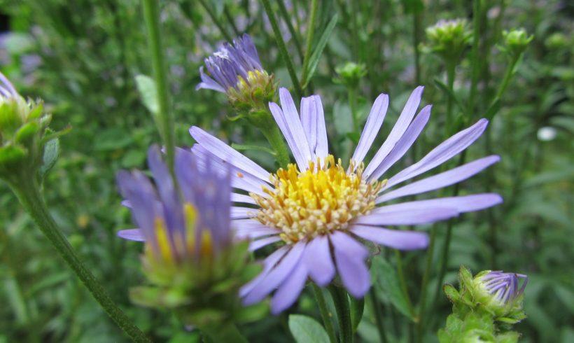 (Français) Floraison du mois : la Marguerite de la Saint-Michel