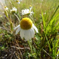 Fleur de la Camomille romaine type sauvage