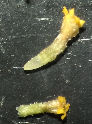 Fleurs tubulées de la Camomille romaine type sauvage ; des glandes sessiles translucides sont visibles sur la corolle