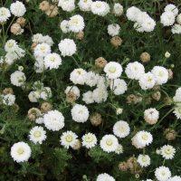 Camomille romaine cv. « Flore pleno » en parcelle de production