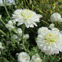 Cultivar « Flore pleno » de la Camomille romaine