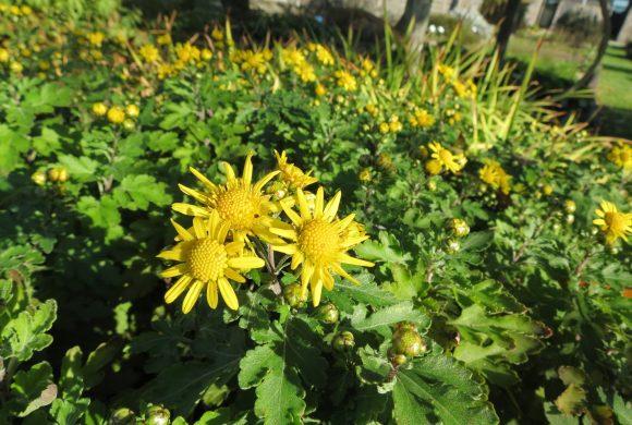 (Français) Floraison du mois : le Chrysanthème des indes