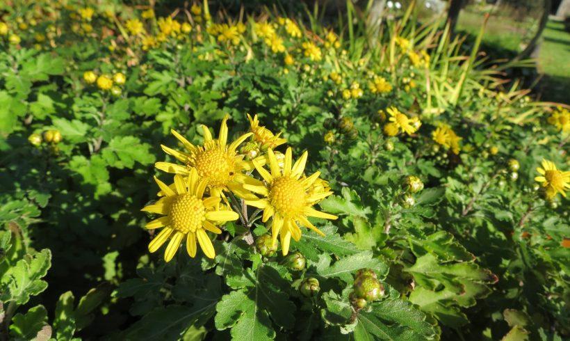 Floraison du mois : le Chrysanthème des indes