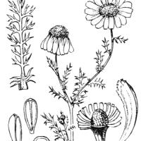 Camomille romaine, dessin issu de la flore de l'abbé H. Coste publiée en 1937