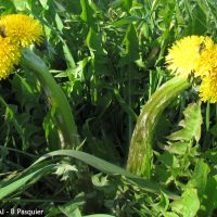 Taraxacum gr. ruderalia