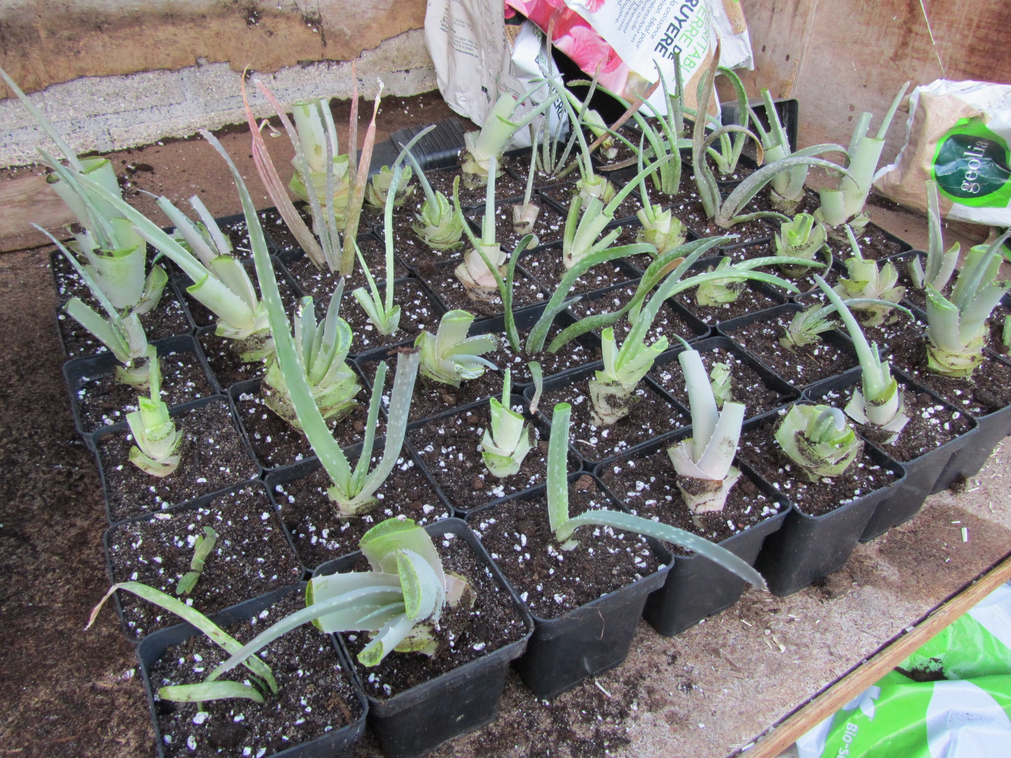 Multiplication Aloe succrotina