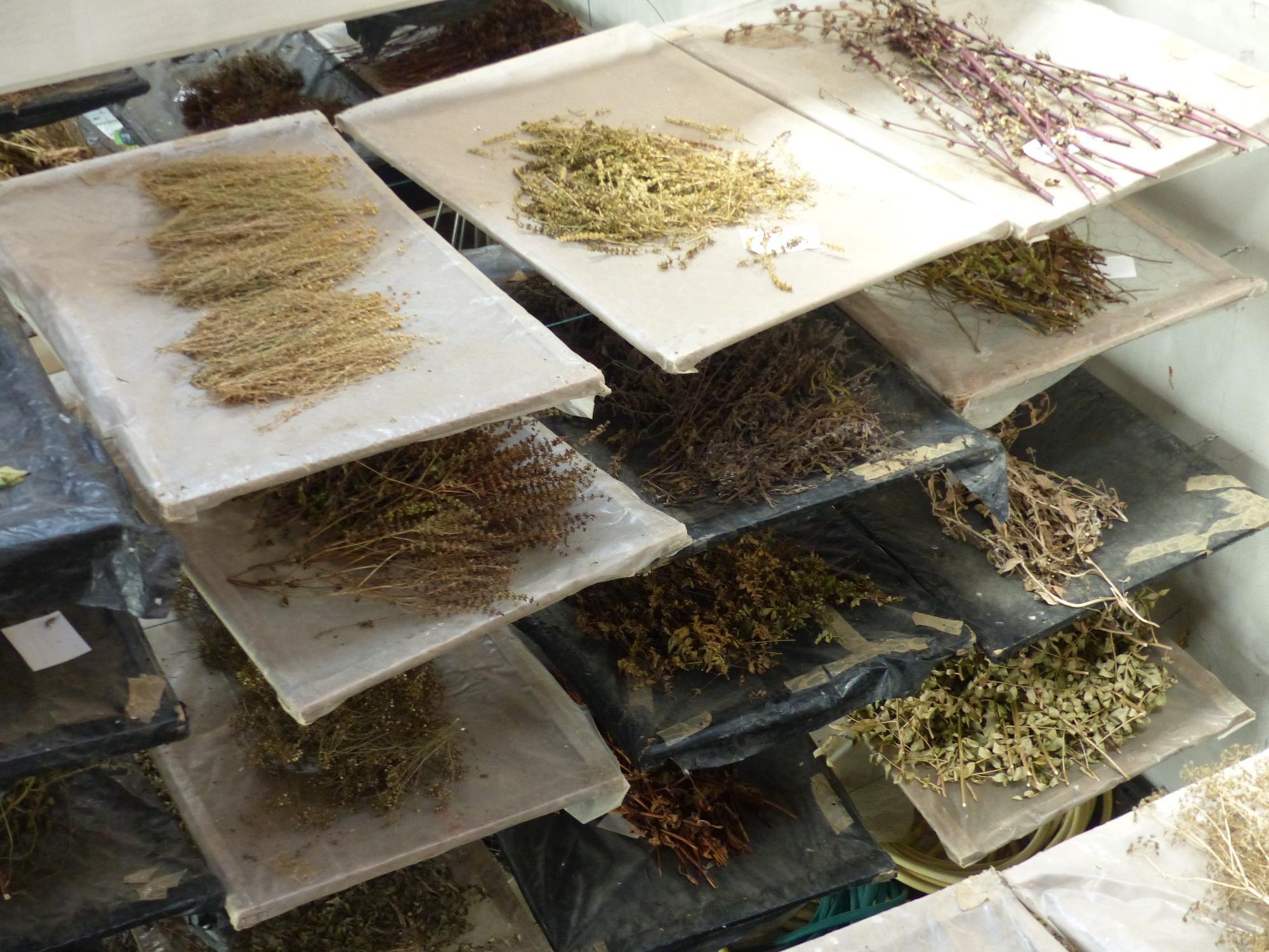 Séchage des graines sur clais