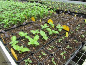 Basilics rempotés et conservés en serre